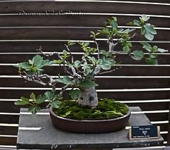 Bonsai-Ficus Carica-Jardi Botanic de BCN 24