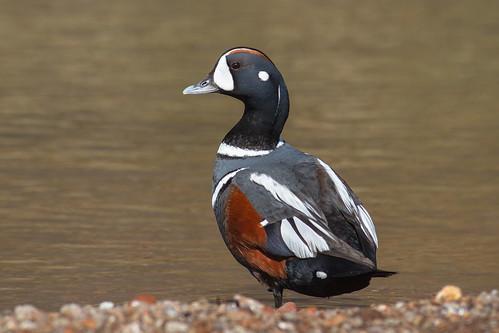 Harlequin Duck by ReynirSk