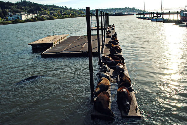 Sea Lions lounging on the docks - Astoria, Oregon