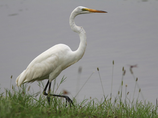 Great Egret 20120605