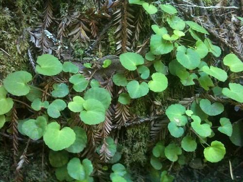 Wild Violet Leaves