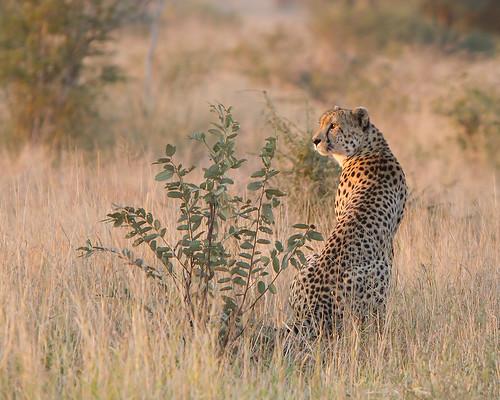 africa nature animals wildlife ngc npc cheetah mammals specanimal krugernationalparksouthafrica canon7d canonlens300is28 lmolenaar leendertmolenaar