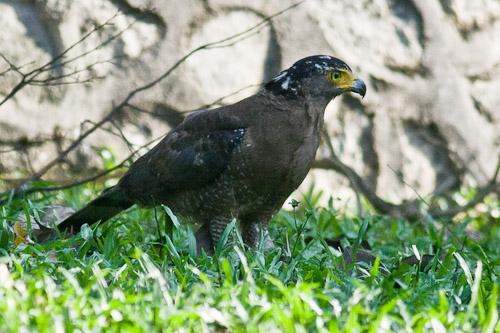 Crested Serpent-Eagle