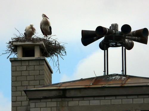 Cigognes sur les toits de Ribeauvillé