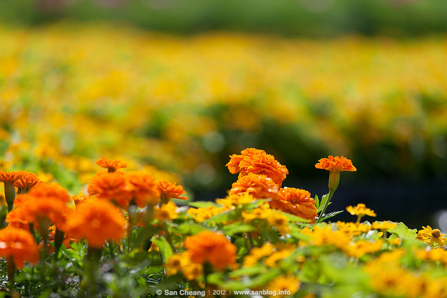 flower_Tapseac-0166