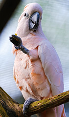 Pink cockatoo with lifted leg