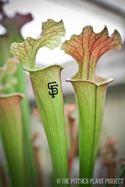 Sarracenia Pitcher Plant SF Giants Project