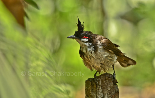 a white eared bulbul after complete bathing