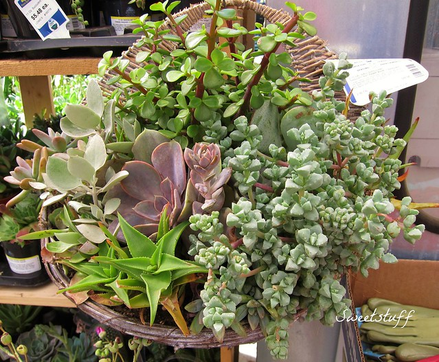 Beautiful succulent hanging basket