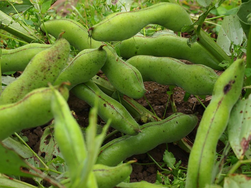 Fava beans_2012