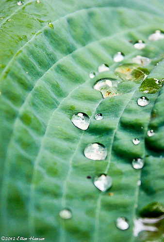 Water droplets on a broad leaf by Genny164