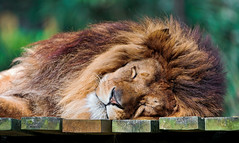 [Free Images] Animals 1, Lions, Sleeping ID:201205291000