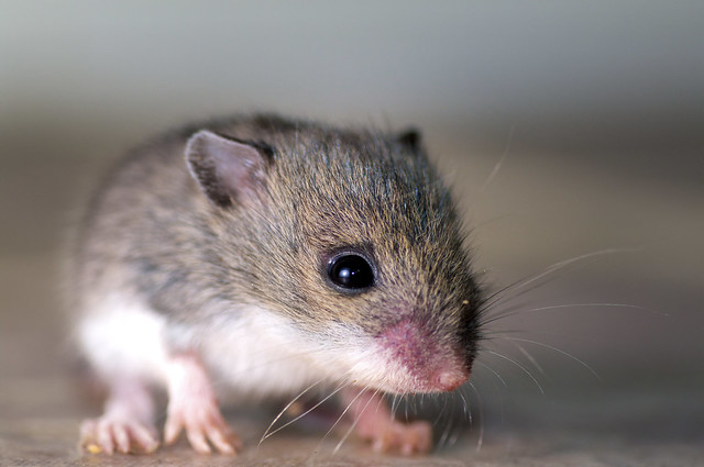 Will Mice Go Into Light Rooms