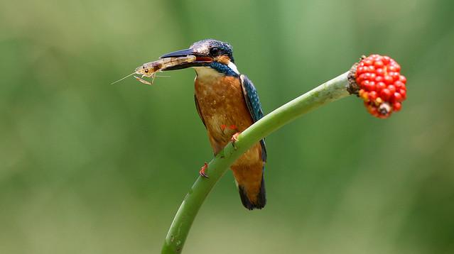 Common Kingfisher 翠鳥(TW026)6Z2K7628-1