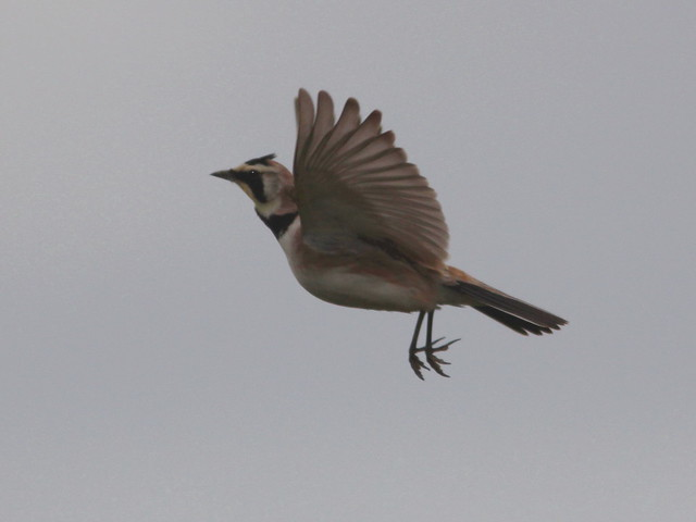 Horned Lark hovering 20120601