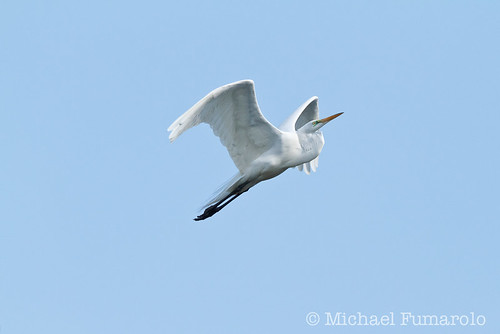 Great Egret In Flight - 01