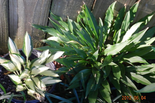 Hosta 'Moonstruck' and 'The Razor's Edge'
