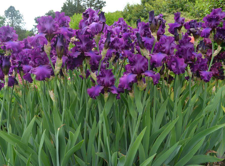 Sultry_Mood_iris_Schreiners_Iris_Gardens