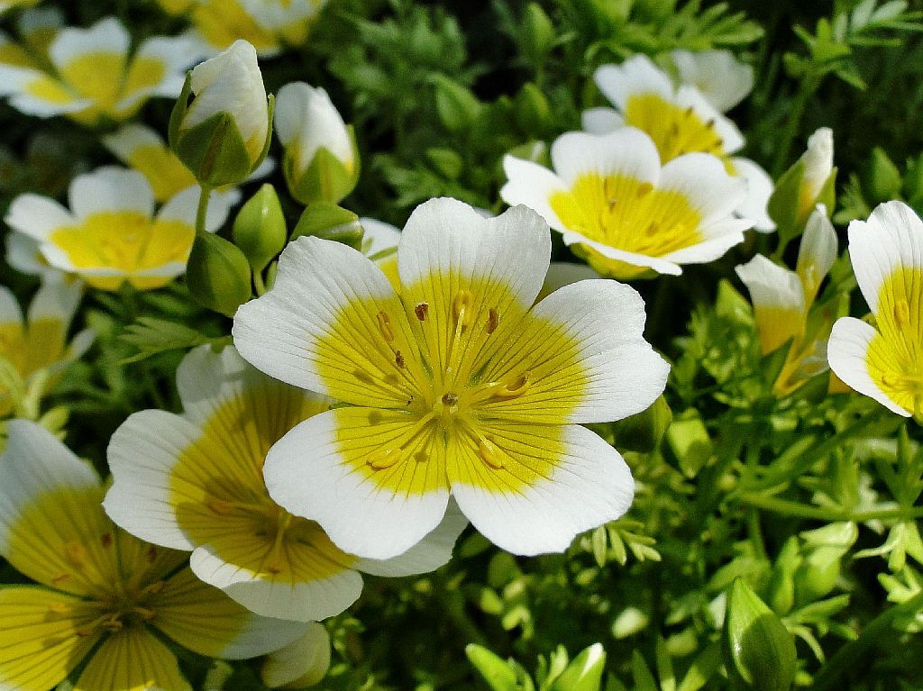"Some Brightness in the Morning.  Limnanthes douglasii, Poached Egg Plant or Meadowfoam, Botanische Tuin Fryslân ""De Kruidhof"", Buitenpost, Friesland, The Netherlands"