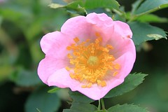 Pretty Rosa Roxburghii Hirtula Rose 036