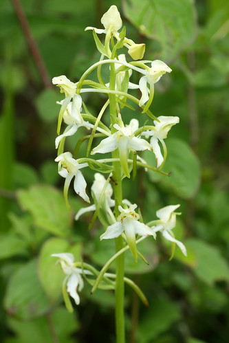 Greater Butterfly Orchid, Platanthera chlorantha, Denge Woods, Bonsai Bank