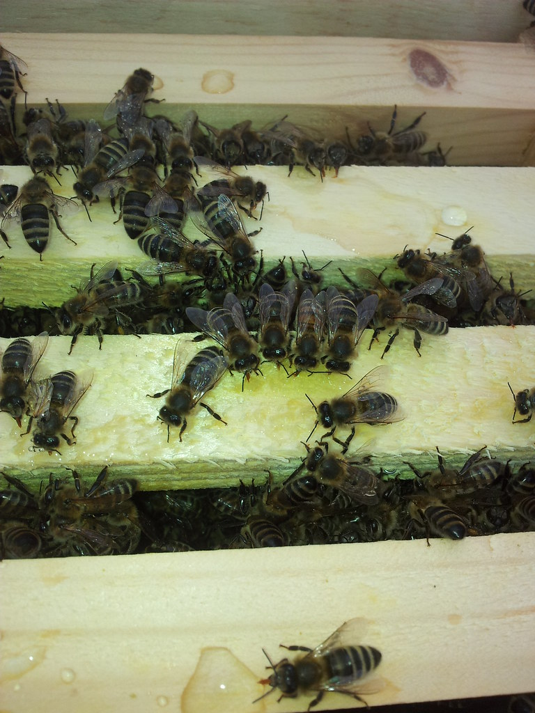Feeding Starving Bees