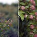 snowberry_ninebark by Sarah Ryhanen