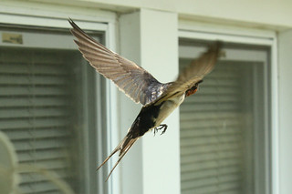 Barn Swallow flight 1