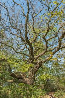 Alter Baum auf dem Großen Vilm