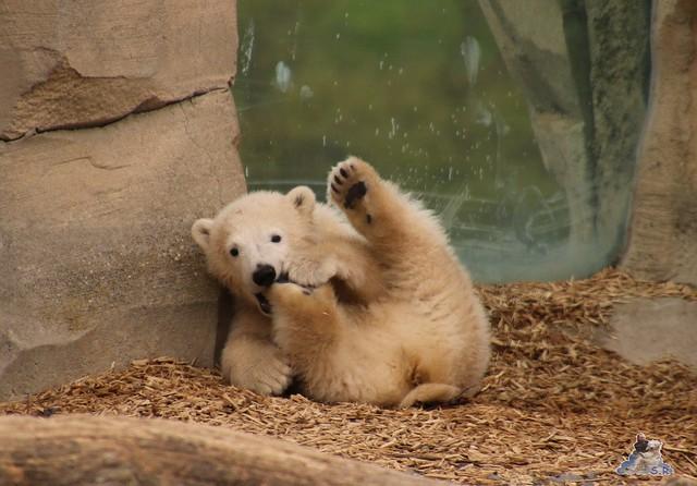 Eisbär Lilli im Zoo Bremerhaven 30.04.2016 Teil 2  67