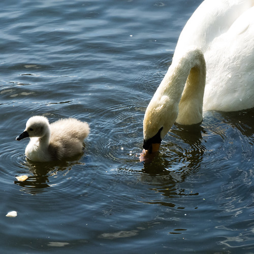 Cygnet: West Park