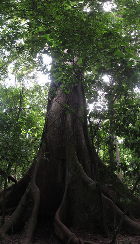 Parc National Arenal: immense ceiba
