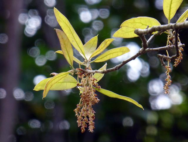 Quercus incana W.Bartram 1791 (FAGACEAE)