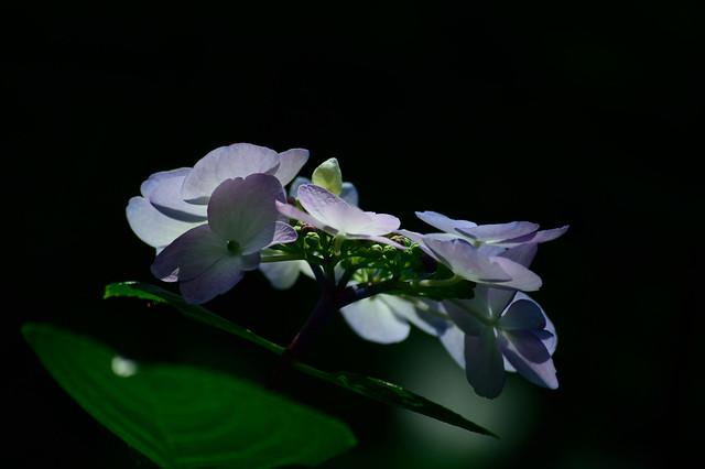 アジサイ Hydrangea