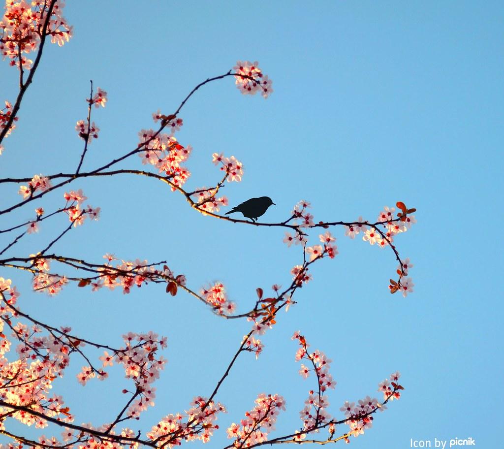 Ich liebe die Kirschbaumblüte <3