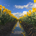 Daffodil Reflection, Skagit Valley Tulip Festival