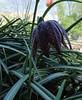 77-21apr12_4048_Botanical_garden_tulip