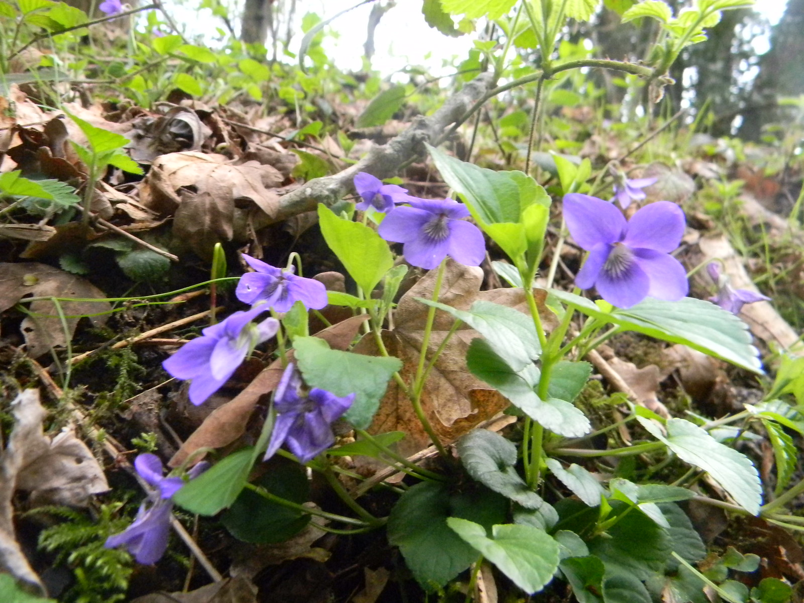Violets Ockley to Warnham