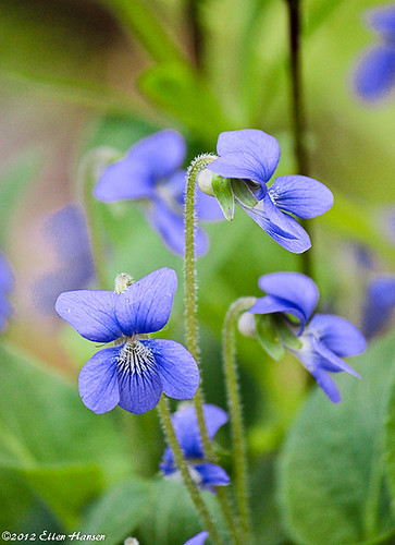 Wild Violets, Taunton, MA by Genny164