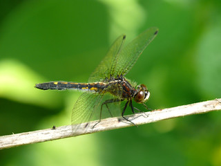 Dot-Tailed Whiteface Dragonfly (juvenile female) - Leucorrhinia intacta