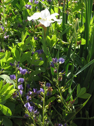 Siberian Iris 'Gull's Wing' and false indigo