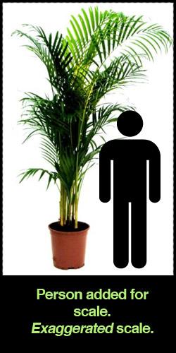areca-palm-ikea