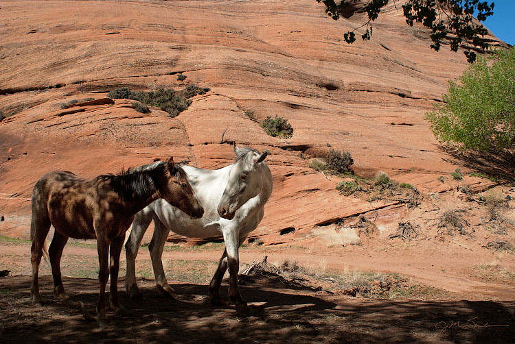 two southwestern canyon horses, a mother and her foal, nuzzling each other in reassurance in a reservation canyon