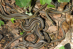 Garter snakes at the Narcisse Snake Pits in Manitoba - May 12, 2012