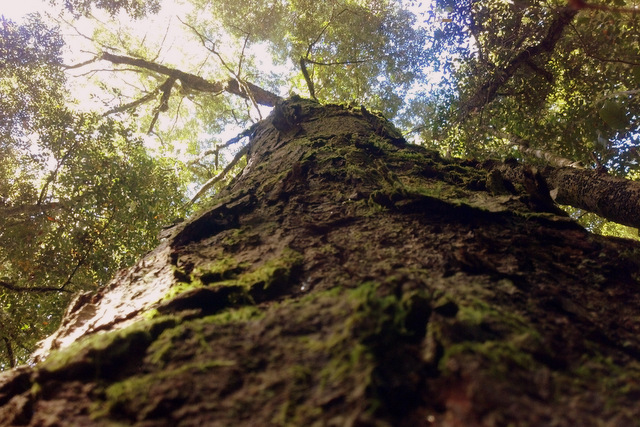 Gorgeous old Antarctic Beech, Glocester Tops, Barrington Tops National Park