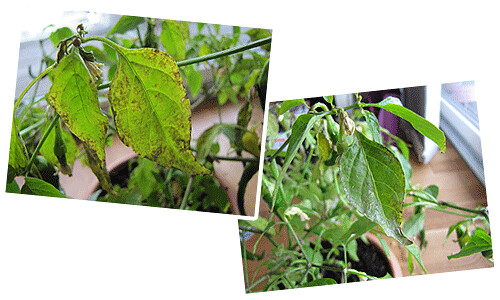 Chili Plant Sick Leaves