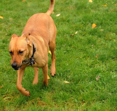 Rosie on the run, grass, Meadowview Park, Seattle, Washington, USA by Wonderlane