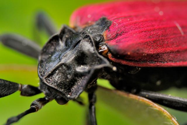 Mscrolycus pectinifer