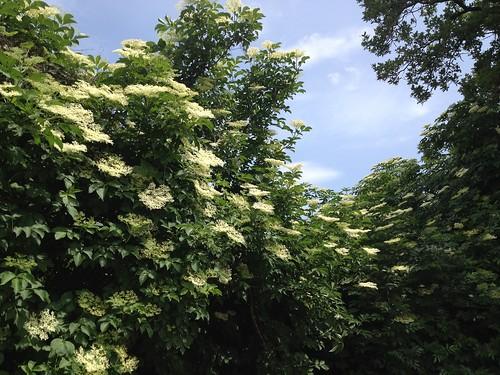 cespuglio sambuco-elder bush