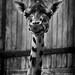 Chester Zoo   == Giraffe by _nod